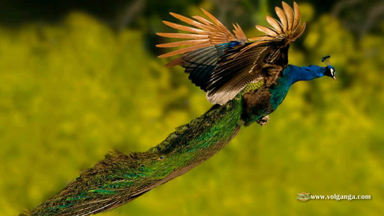 Beautiful birds wallpapers 1200x720 volganga - Hd images of birds of paradise ...