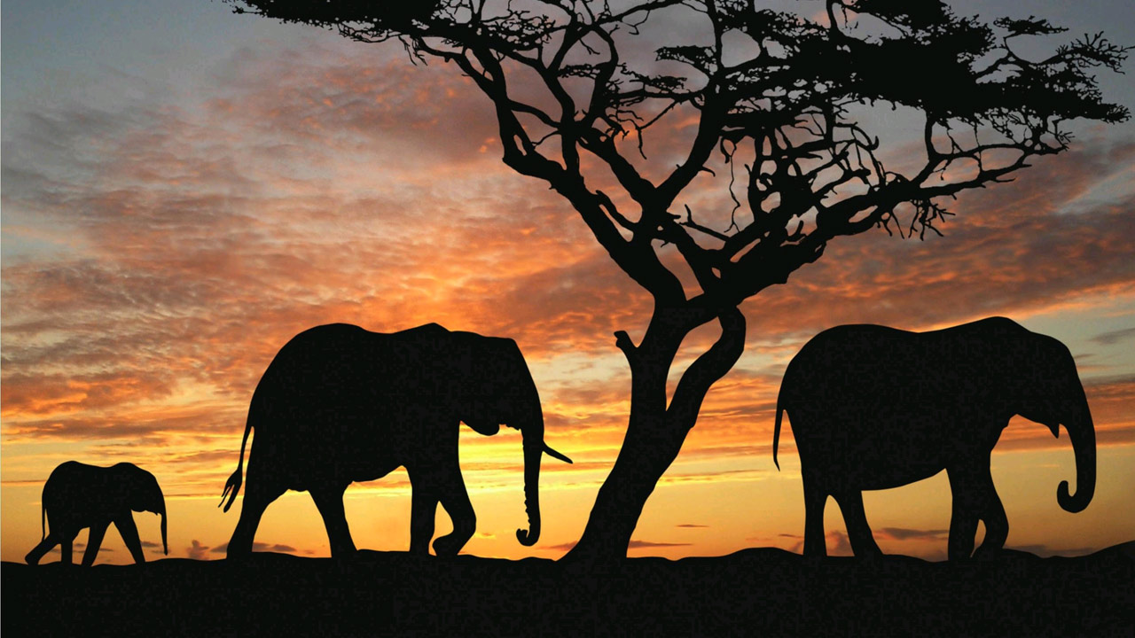 Elephant Wallpapers 1280x720