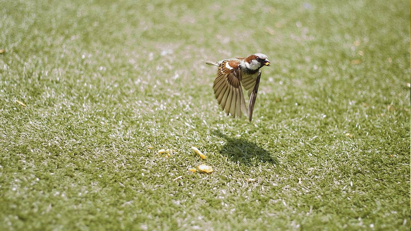 sparrows_hd_02