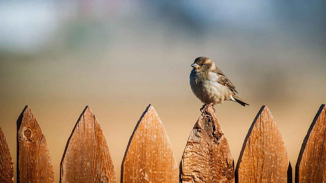 sparrows_hd_03