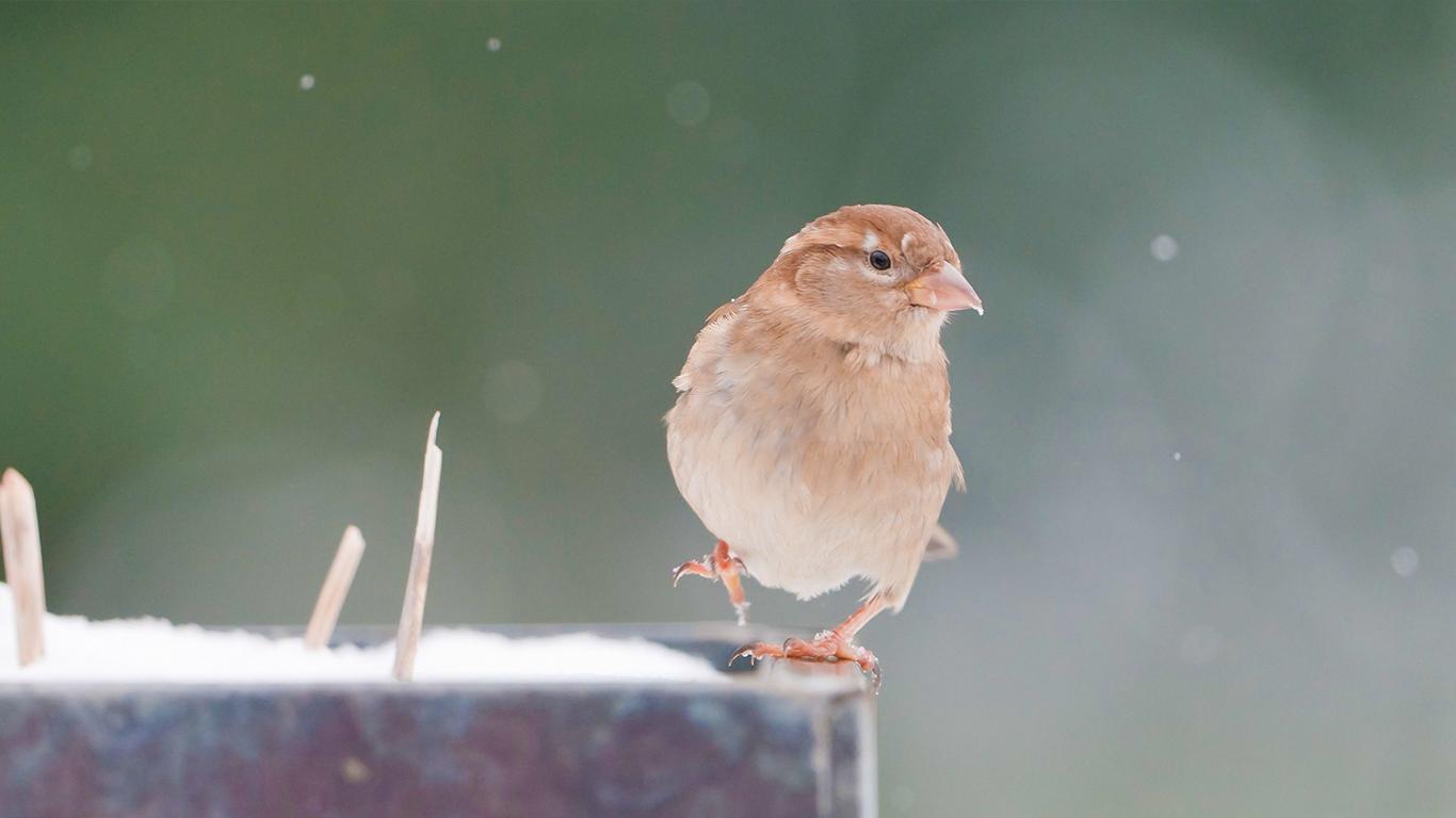 sparrows_hd_04