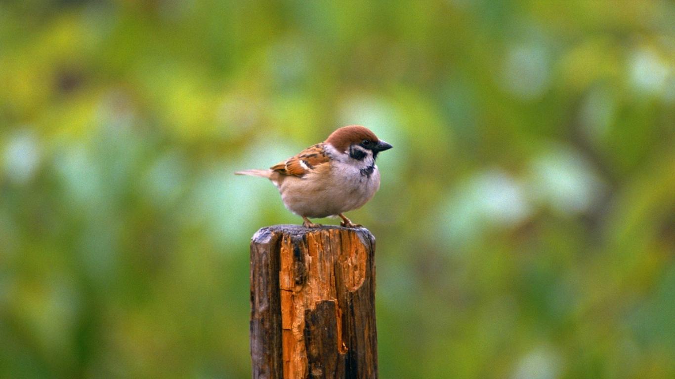 sparrows_hd_08