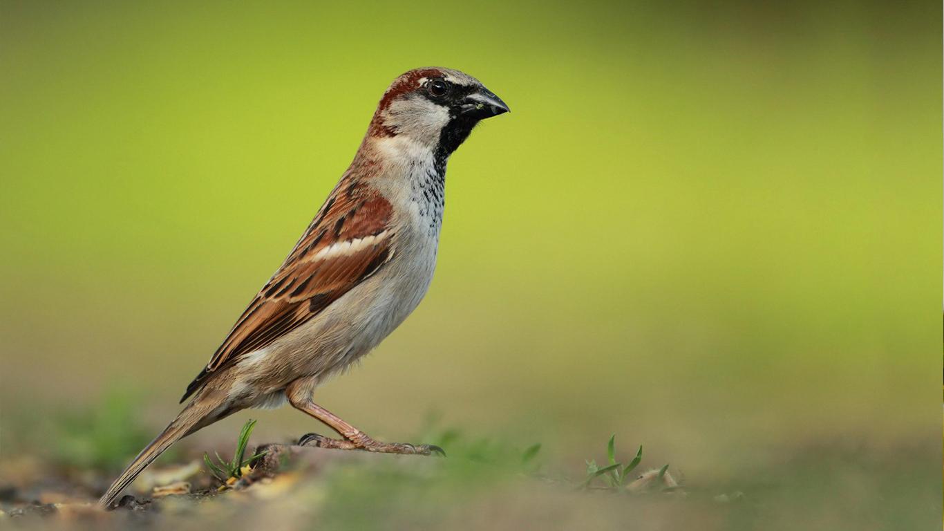 sparrows_hd_14