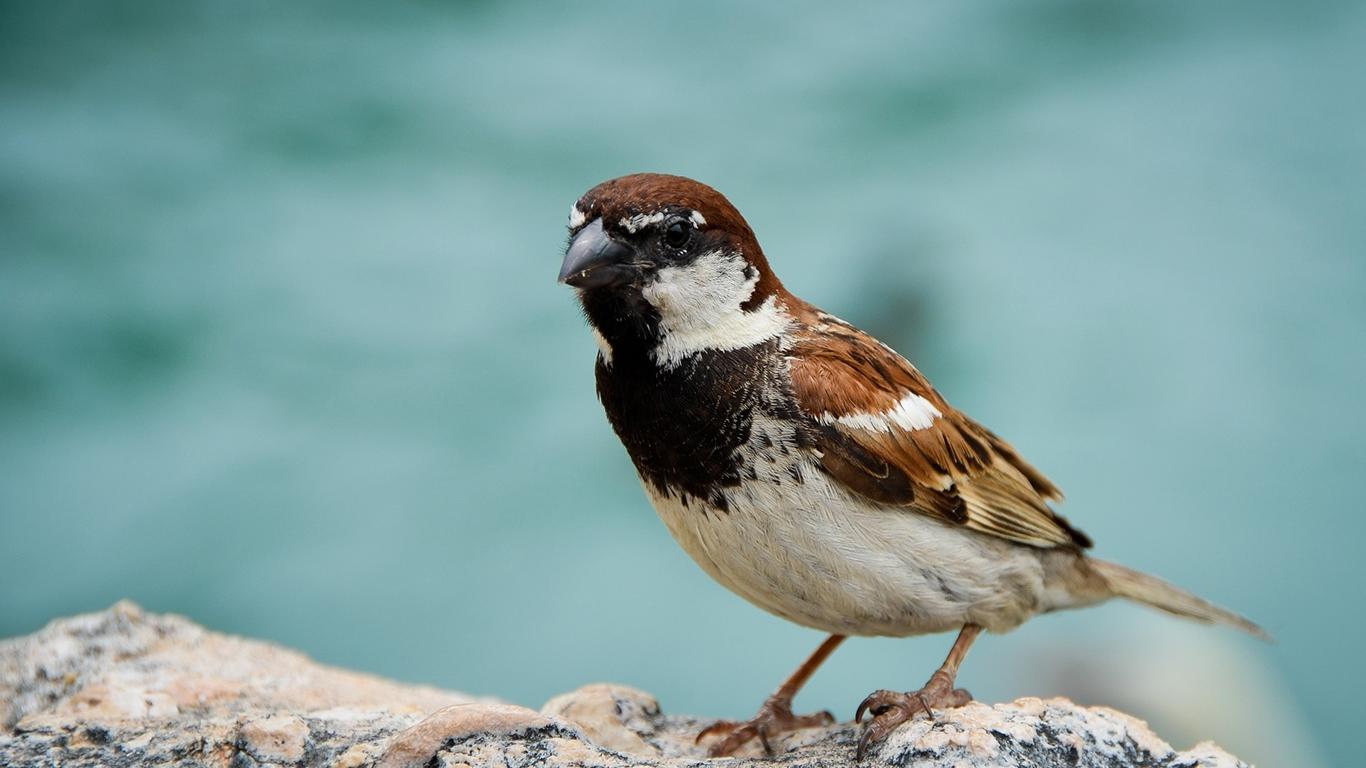 sparrows_hd_16