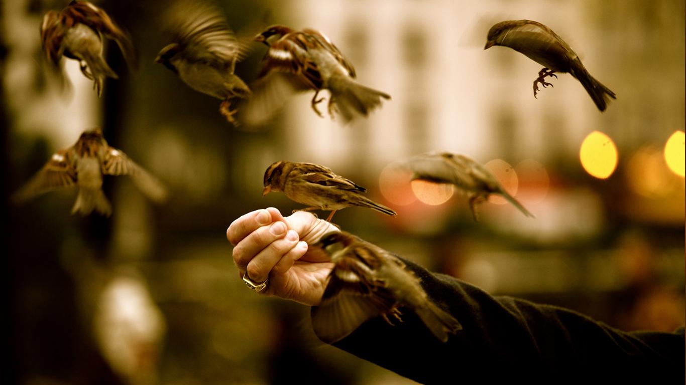 sparrows_hd_20