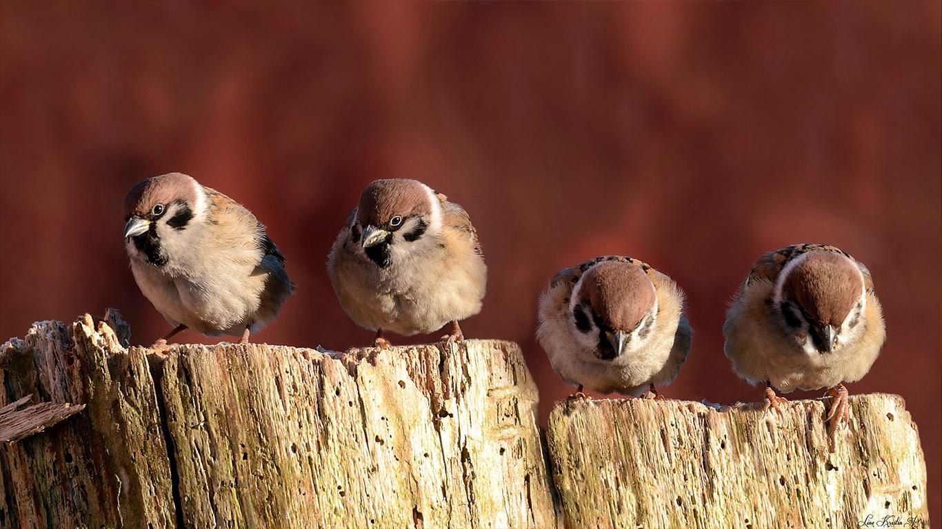 sparrows_hd_21