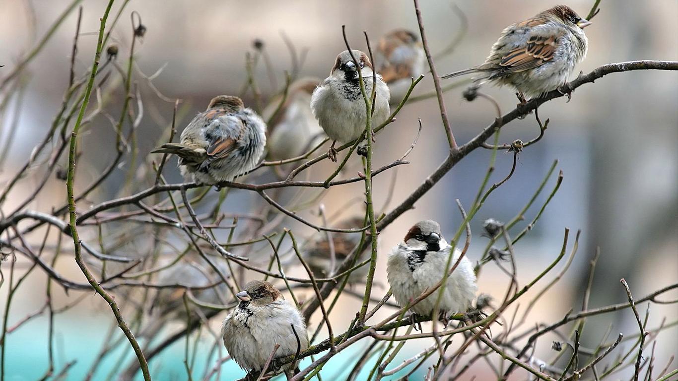 sparrows_hd_23