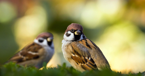 sparrows_hd_01