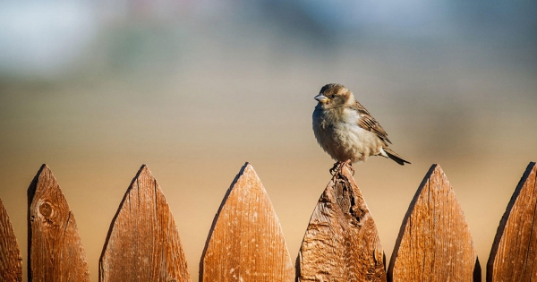 sparrows_hd_03