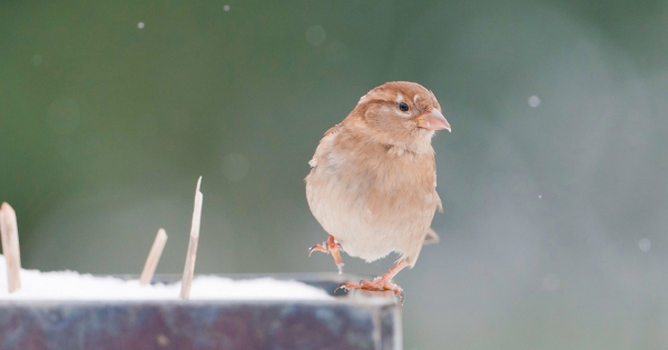 sparrows_hd_04