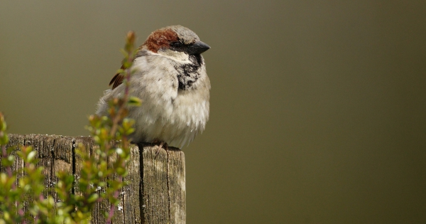 sparrows_hd_07