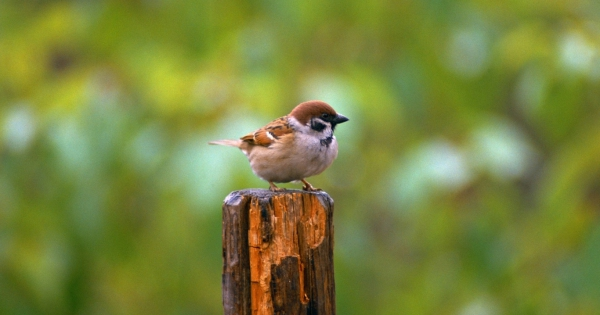 sparrows_hd_08