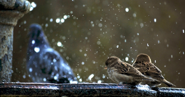 sparrows_hd_10