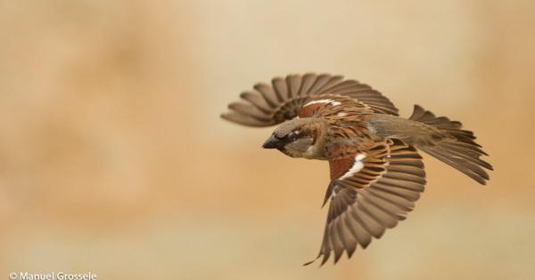 sparrows_hd_12
