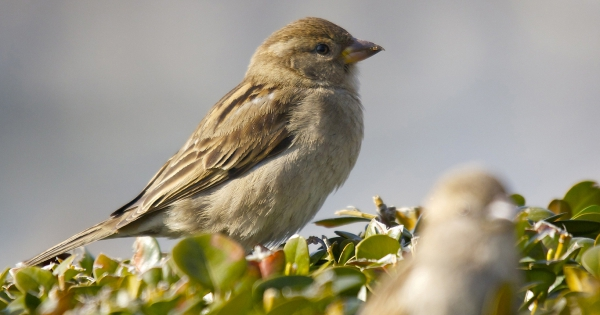 sparrows_hd_13