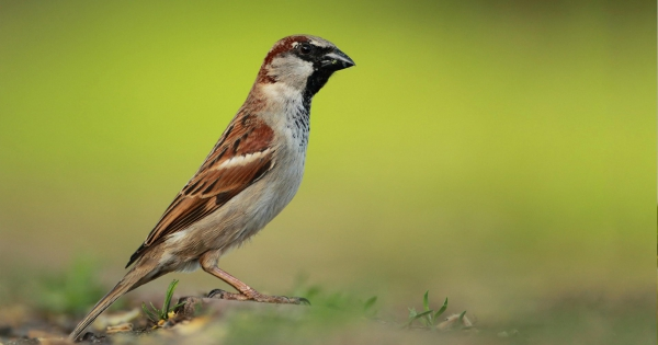 sparrows_hd_14