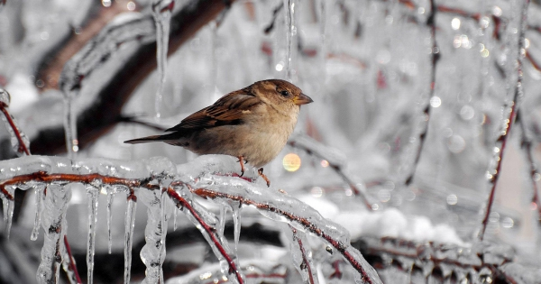 sparrows_hd_17
