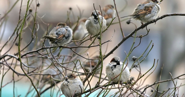 sparrows_hd_23