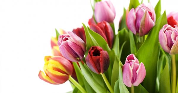 tulips-02