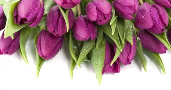 tulips-08