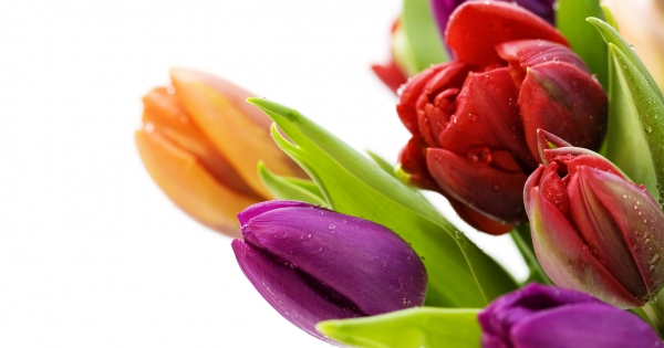 tulips-17