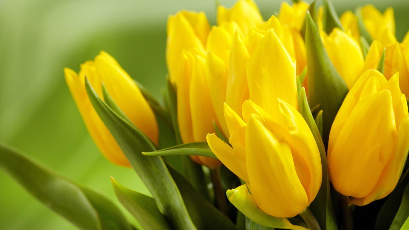 beautiful tulips wallpapers 1366x768 volganga