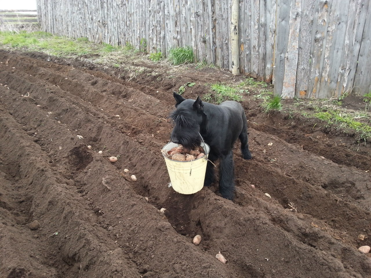 Limon helping to plant potatoes