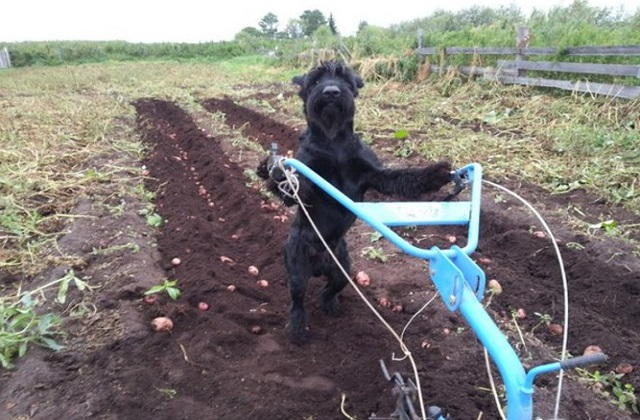 Lemon doing work in the potato field