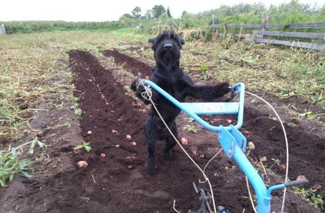 Lemon doing work in the potato field