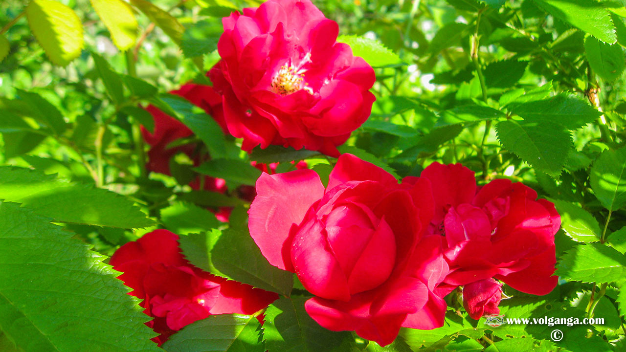 Red bushy rose