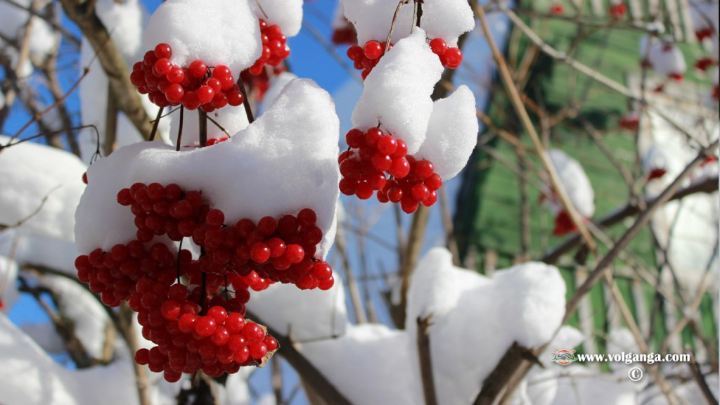winter_berry