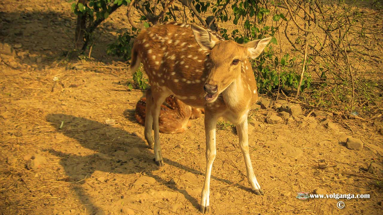 Deer at Sarnath park