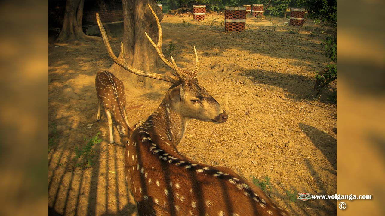 Deer at Sarnath