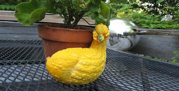 duck-shaped squash