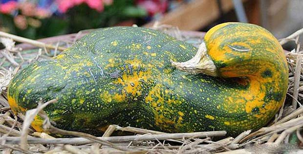 goose-shaped squash