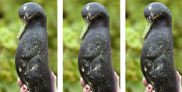 penguin-shaped squash