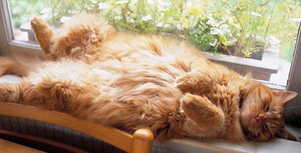 Fat orange cat sleeping on its back on the window