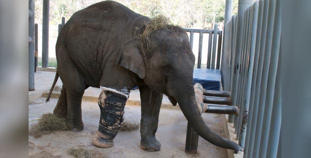 Mosha, the female elephant