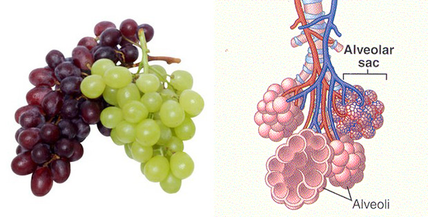 Grapes prevent lung cancer. Lungs consist of alveoli branches which remind grapes