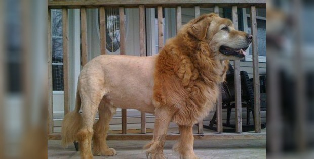 lion-like dog haircut