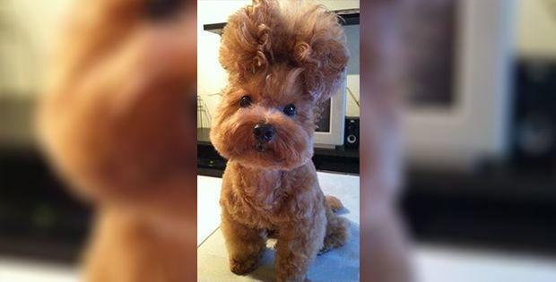 hilarious dog haircut