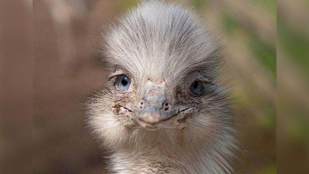 Smiling animals. Ostrich
