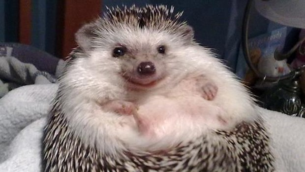 Cute smiling hedgehog