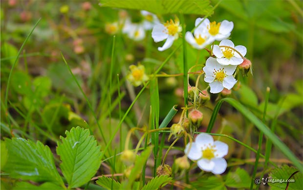 Wild strawberry flower hd wallpaper