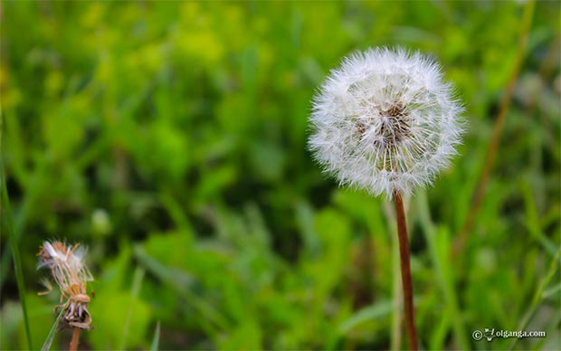 Dandelion exclusive hd wallpaper