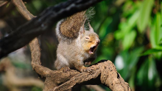 Yawning squirrel