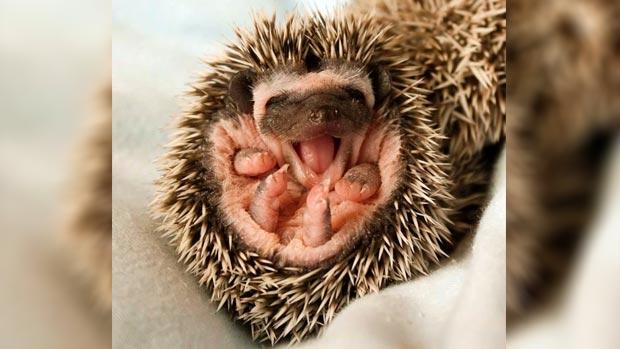 Yawning baby hedgehog