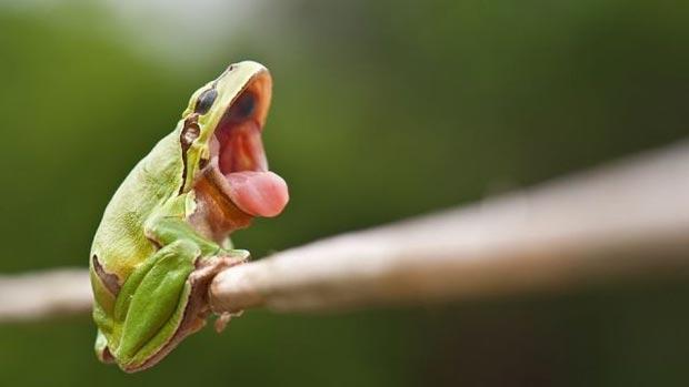 Yawning frog