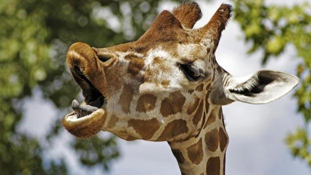 Yawning giraffe