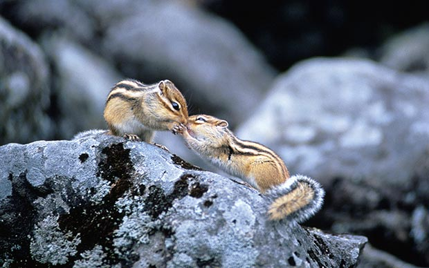 Wild life kiss: squirrels